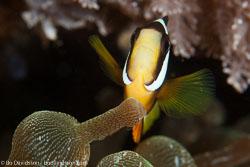 BD-141013-Komodo-4770-Amphiprion-clarkii-(Bennett.-1830)-[Yellowtail-clownfish].jpg
